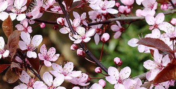 Prunus - Nigra