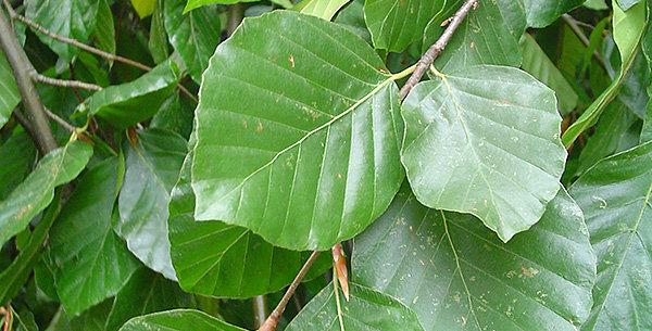 Fagus sylvatica pendula- weeping Green Beech