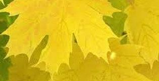Acer platinoides - Norway Maple Princeton's Gold