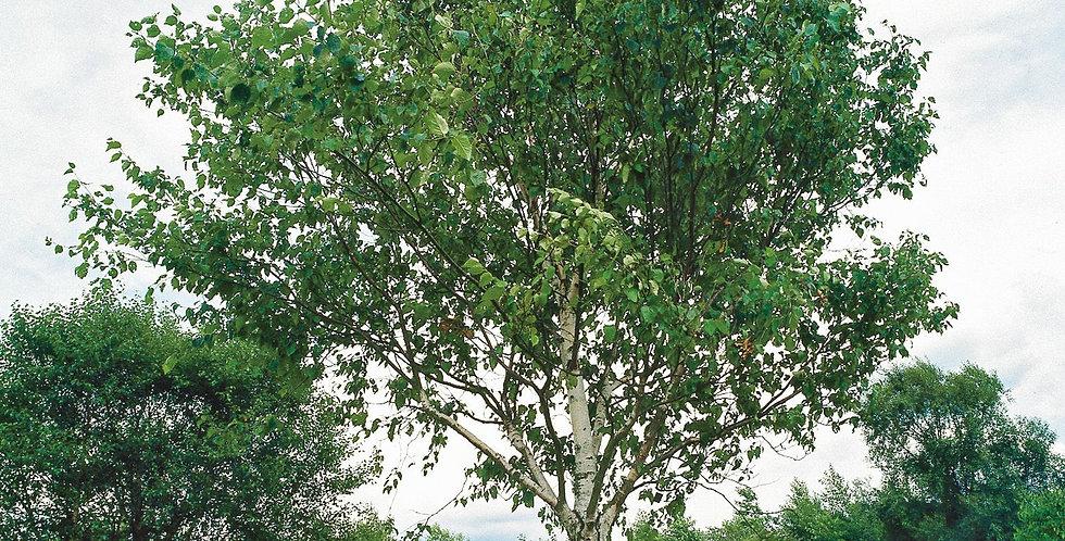 Carpinus betula - Jacquemontii - Himalayan birch