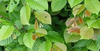 Carpinus betula - Common hornbeam