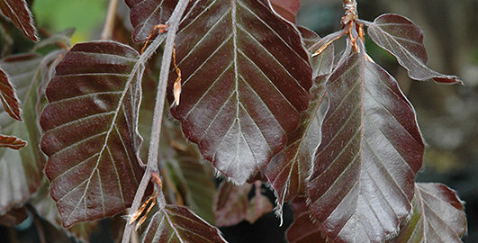 Fagus sylvatica purpuria- weeping purple beech