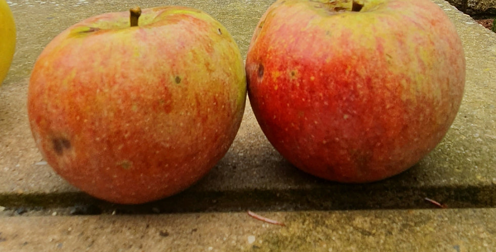 Apple - Laxton Superb