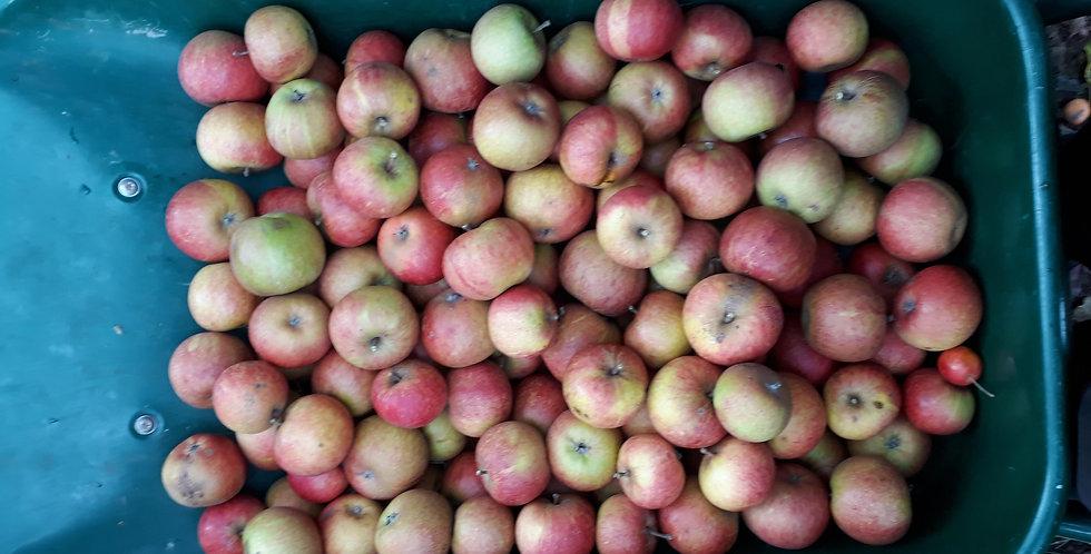 Apple - Cox (self-fertile)