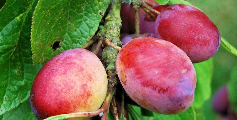 Prunus - Victoria Plum