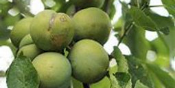 Prunus English Greengage