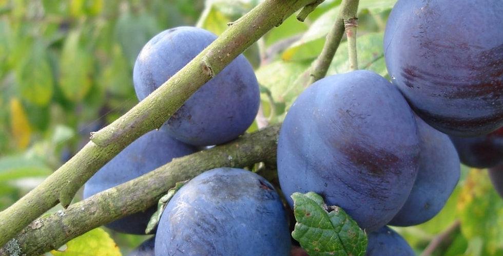 Prunus - damson Merryweather