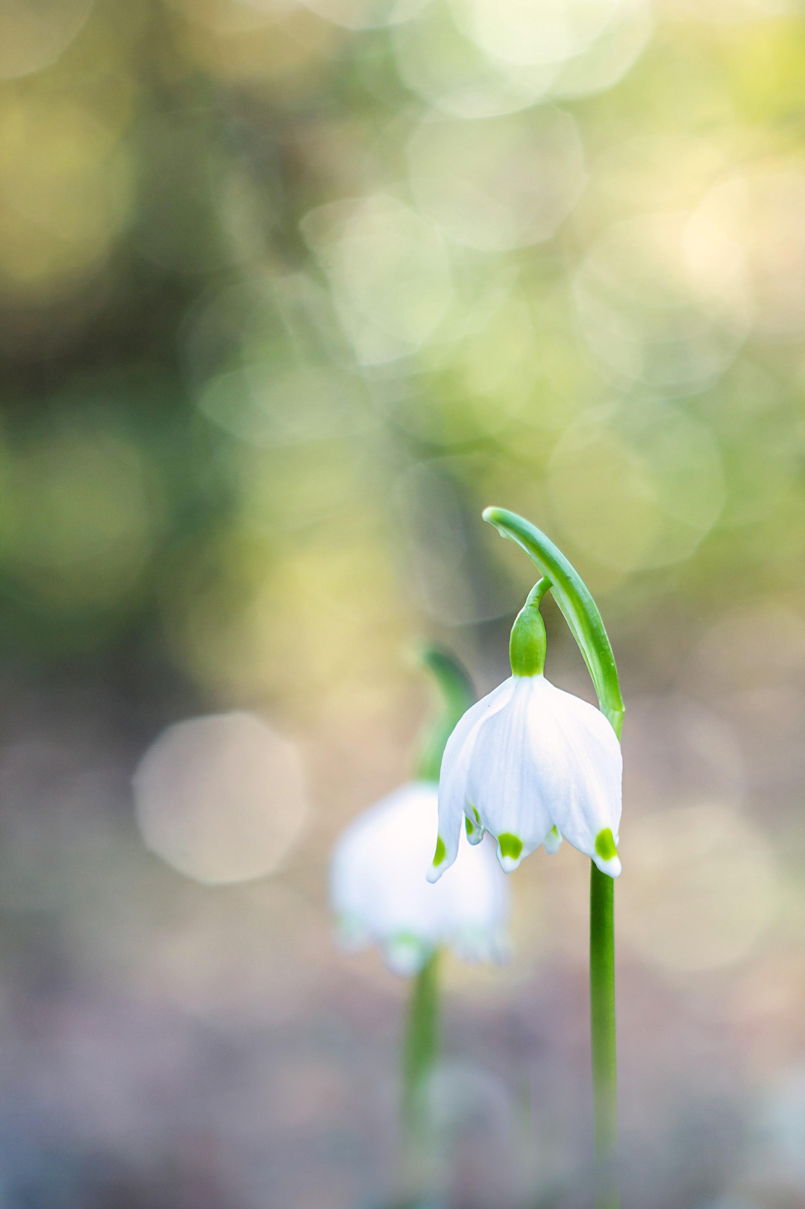 Nivéole de printemps 4