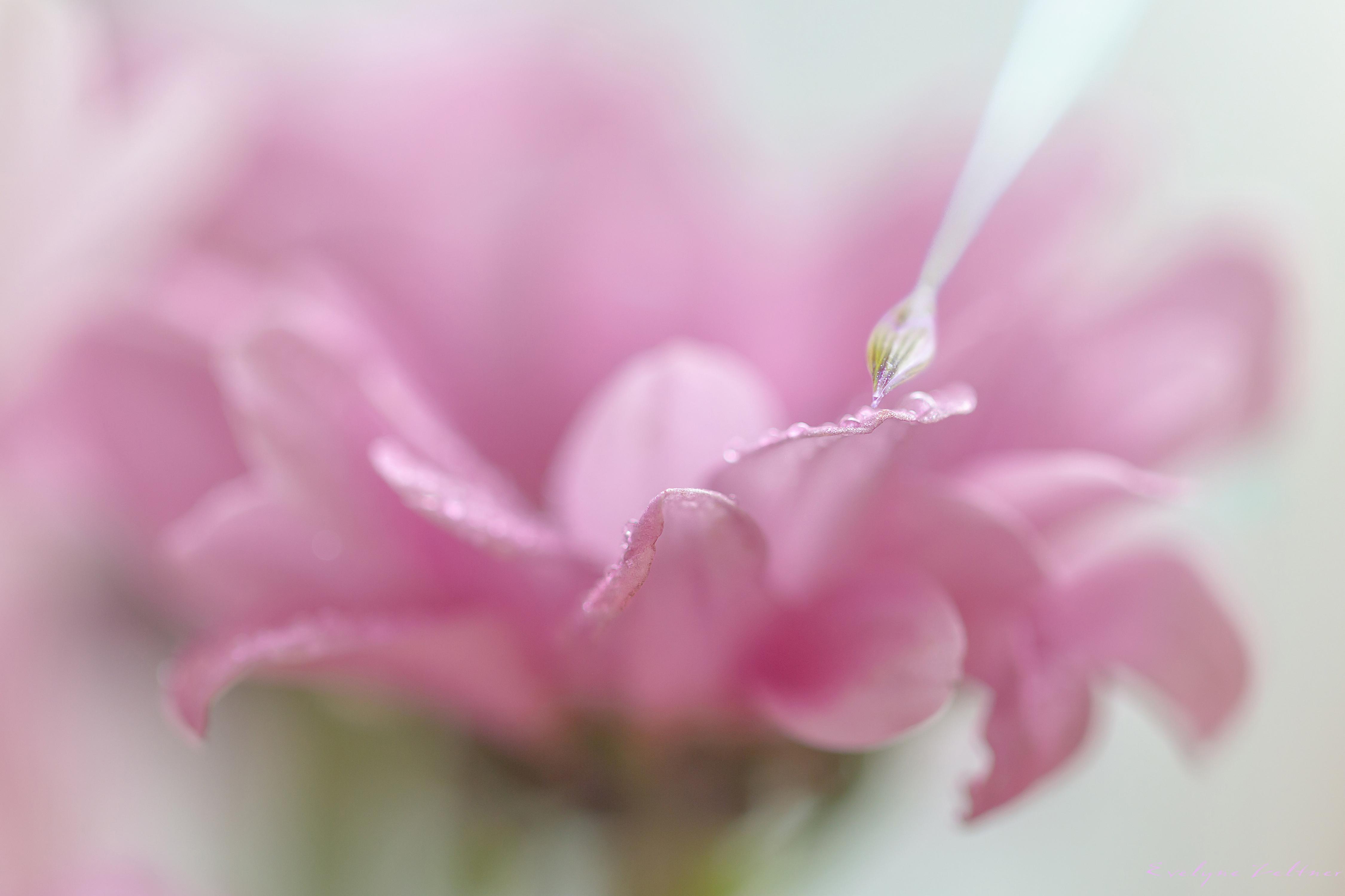 Peindre la douceur des fleurs