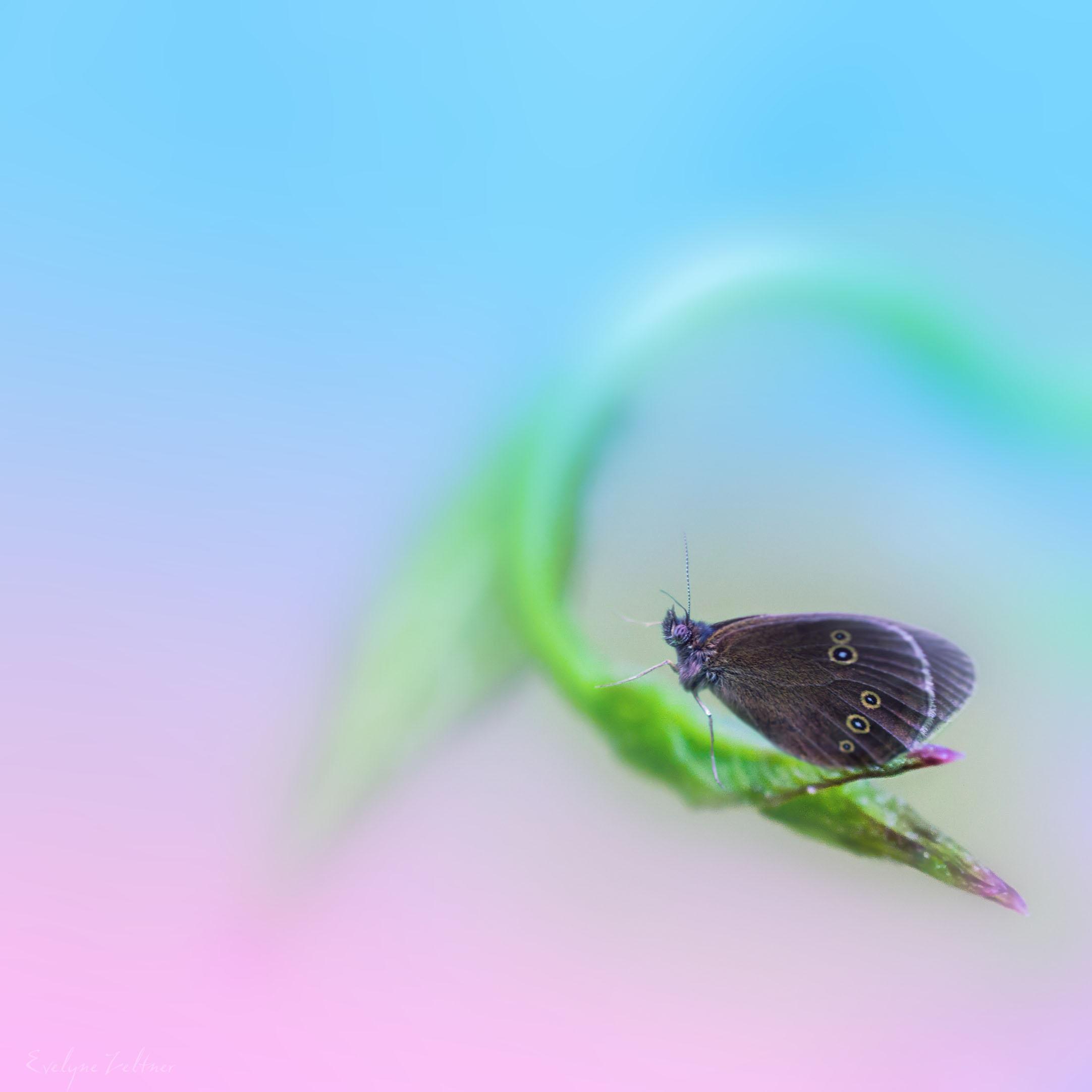 Papillon_rêveur