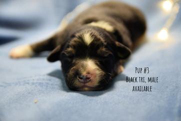 pup3-1w.jpg