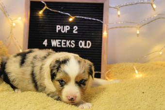 pup2-4w.jpg