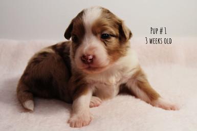 td1-pup1-3w.jpg