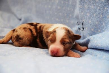 rs1-pup1-1wk.jpg