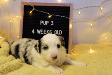 pup3-4w.jpg