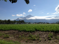Potato field with mountains
