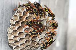 paper-wasp-nest-wood.jpg
