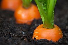 img_6601-carrot-garden.jpg