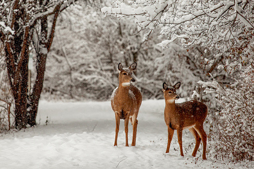 Deer_2_Winter.jpg