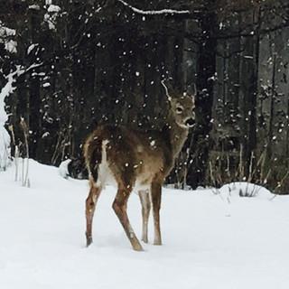 Front yard deer.jpg