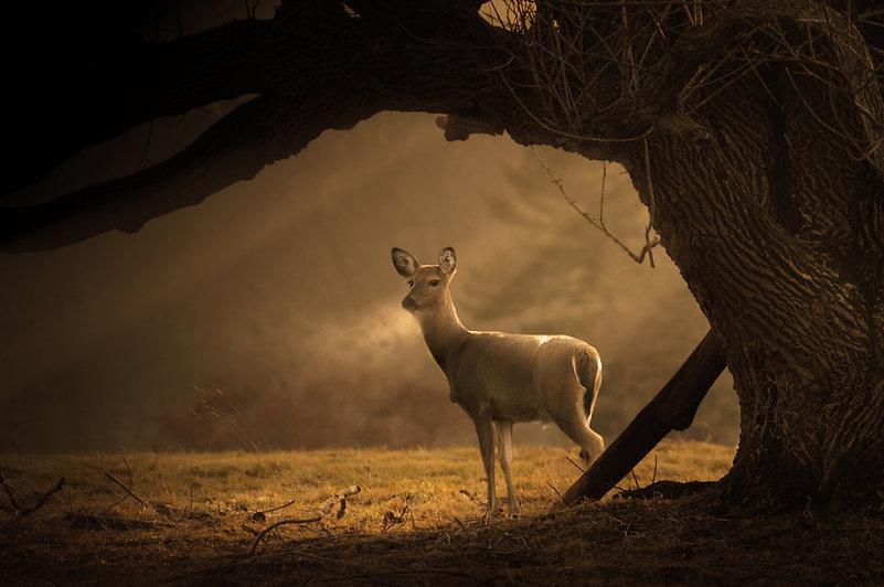 Deer in Misty Morning:Trista Haggerty.jpg