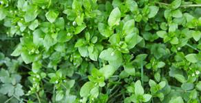 Spring Herbal Tonics