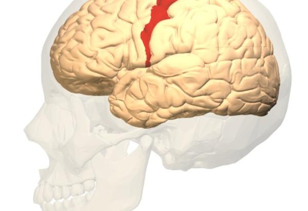 Wissen: The Primary Motor Cortex