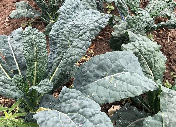 Bundled Lacinato Kale