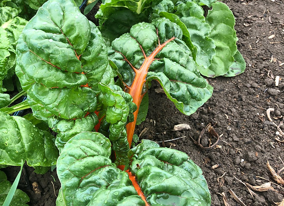 Bundled Rainbow Swiss Chard