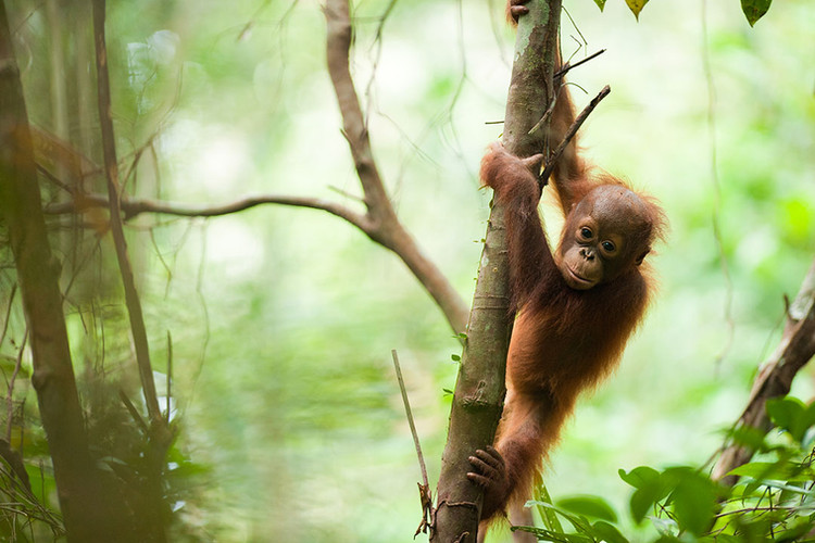 BNF copy_0008_Bornean orangutan. Photo b