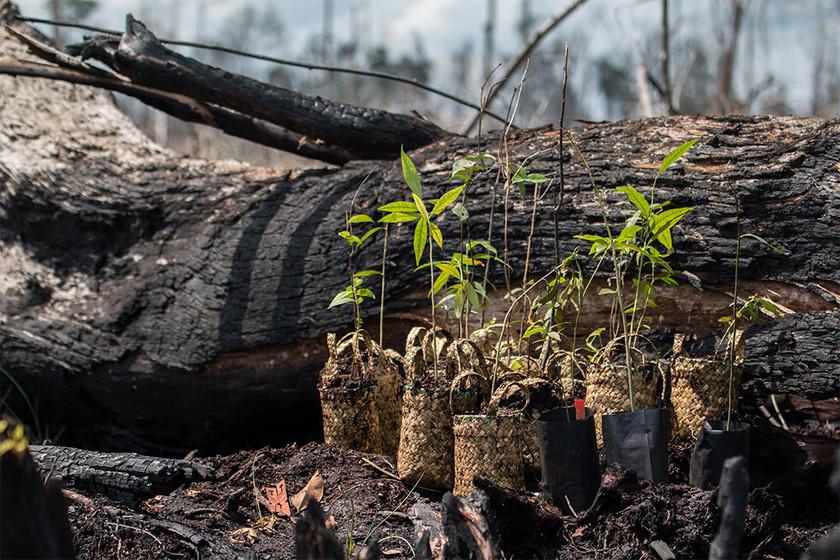 BNF copy_0006_Planting in Sebangau Fores