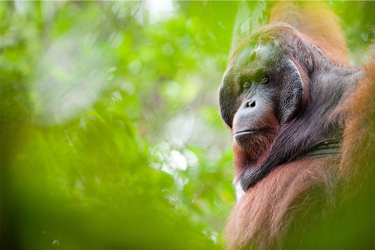 BNF copy_0009_Bornean orangutan 2. Photo