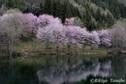 「華映え」 長野県・中綱湖
