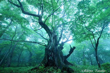 「森の神」 群馬県・赤城山