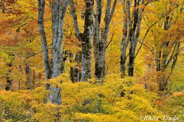 「黄葉の騒めき」 長野県・奥志賀高原