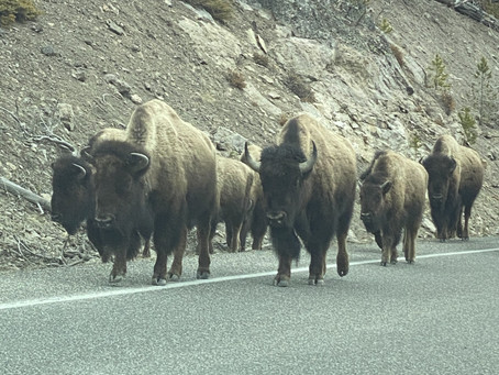The bison did not get the memo!