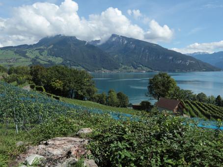 Wandering through the Spiez vineyards