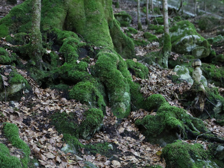 Are there gnomes living in the moss covered trees around the Giessbach Falls?