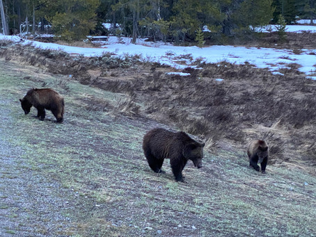 Why did the momma bear cross the road?