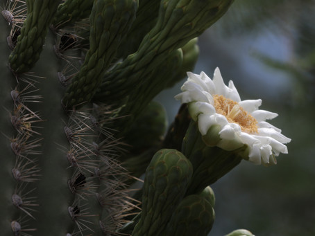 Looking for Saguaro Blossoms