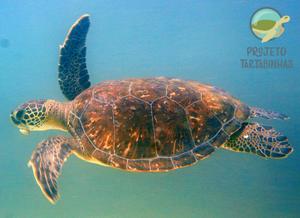 Foto de tartaruga marinha nadando, submersa. Sua cabeça está voltada para o lado esquerdo da foto. No lado esquerdo da cabeça é possível ver uma massa tumoral.