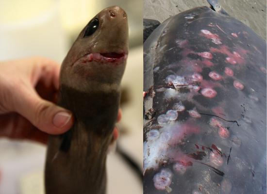 À esquerda temos uma foto frontal de um tubarão charuto mostrando seu formato cilíndrico e seus olhos grandes adaptados para o escuro. À direita, uma baleia morta com cicatrizes arredondadas deixadas por mordidas do tubarão charuto.