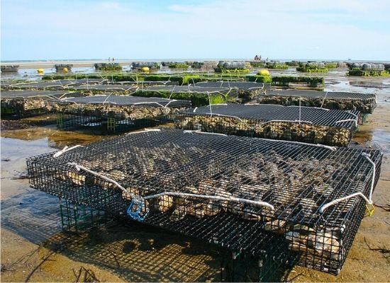 A fotografia mostra o cultivo de ostras. As estruturas de cultivo se assemelham a gaiolas retangulares, no formato de uma mesa, que entram em contato com o mar na maré alta.