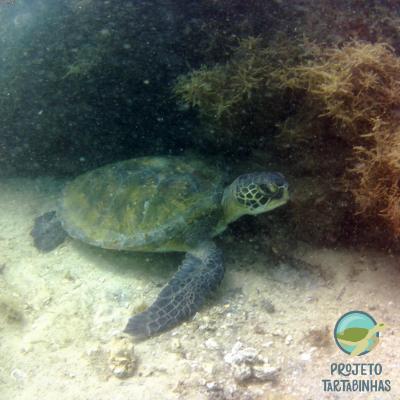 Foto de tartaruga marinha próxima ao fundo do mar e perto de algas.
