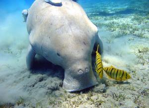 Figura mostrando um dugongo com o focinho encostado no fundo do mar e dois peixes ao seu redor.