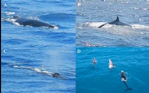 Conjunto de fotos de avistamentos de diferentes cetáceos. A: mergulho de uma baleia jubarte de dorso escuro. B: nadadeira dorsal de uma Orca enquanto mergulha. C: outra baleia jubarte borrifando água pelor orifício na pate superior da cabeça para expulsar o gás carbônico. D: grupo de três golfinhos saltando da água.