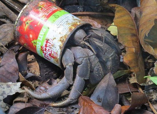 A fotografia mostra um crustáceo chamado ermitão utilizando uma lata de metal na porção posterior do corpo, onde deveria haver uma concha. À sua volta há muitas folhas e ramos.