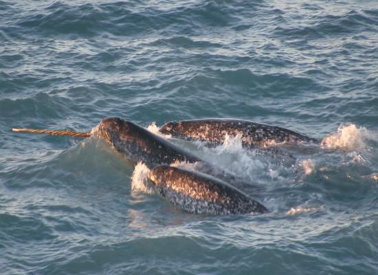 """Fotografia de um grupo de Baleias Narval. Vemos três baleias com uma parte do corpo aparecendo na superfície do mar, mas apenas uma com o """"chifre"""" para fora d'água."""