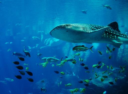 Tubarão-baleia: gigante gentil ameaçado