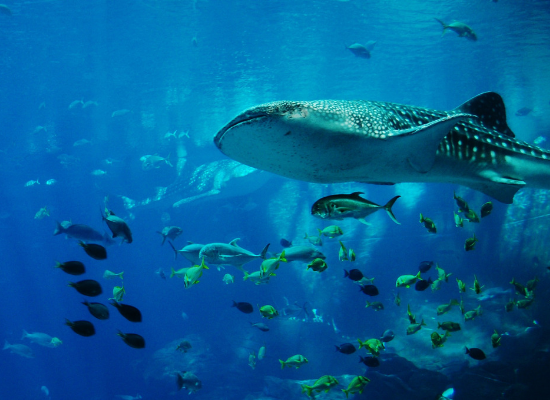 Tubarão-baleia no canto superior direito e vários peixes ao redor.